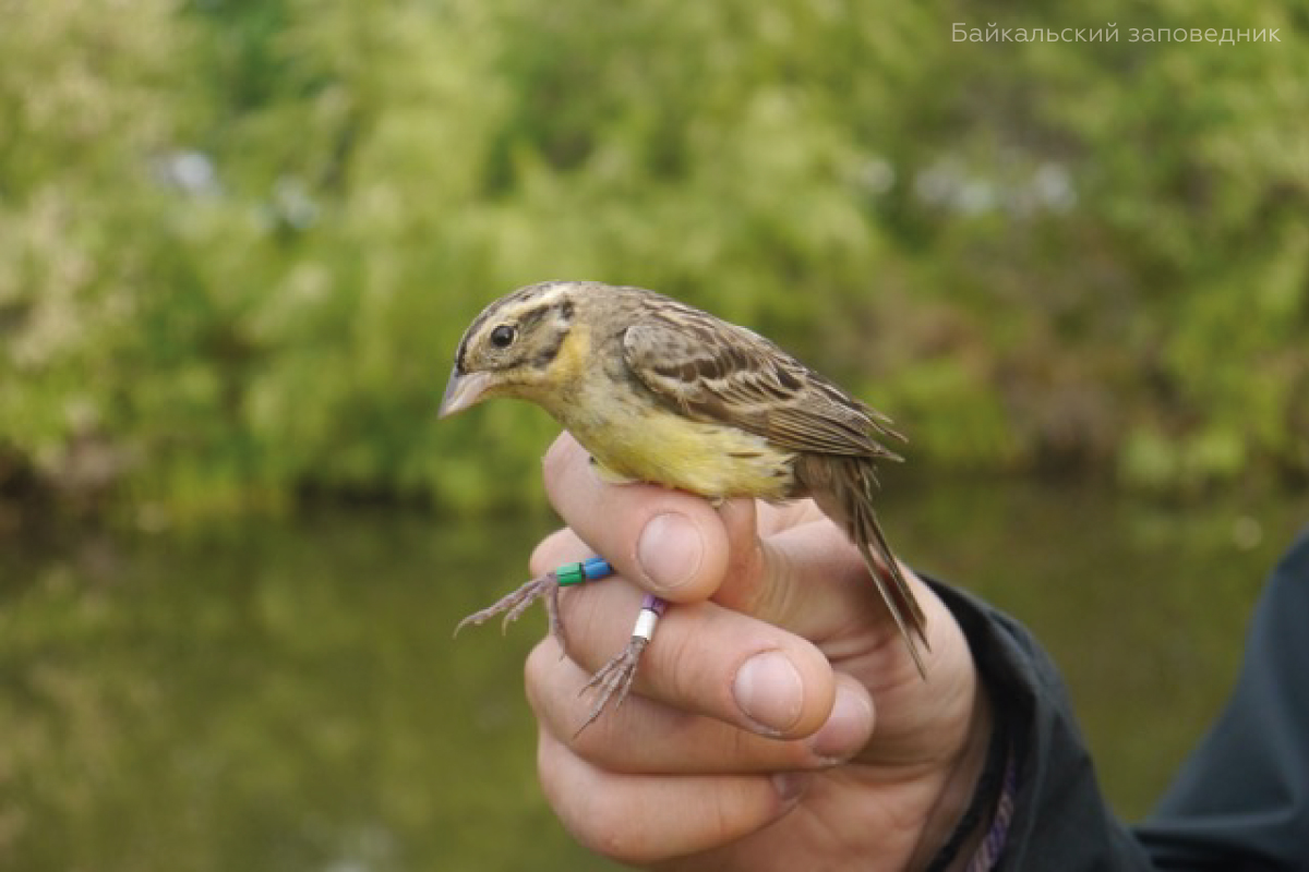 Preservation of the yellow-breasted bunting population