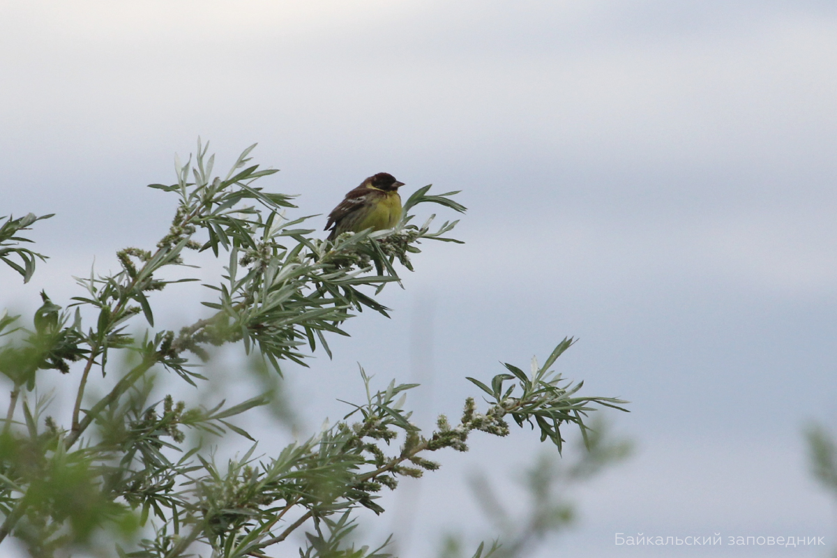 Scientists of the Baikal Nature Reserve discovered 34 singing males of the yellow-breasted bunting in the delta of the Selenga