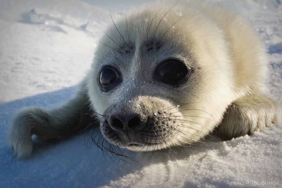 Фонд «Озеро Байкал» включил изучение байкальской нерпы в международную повестку