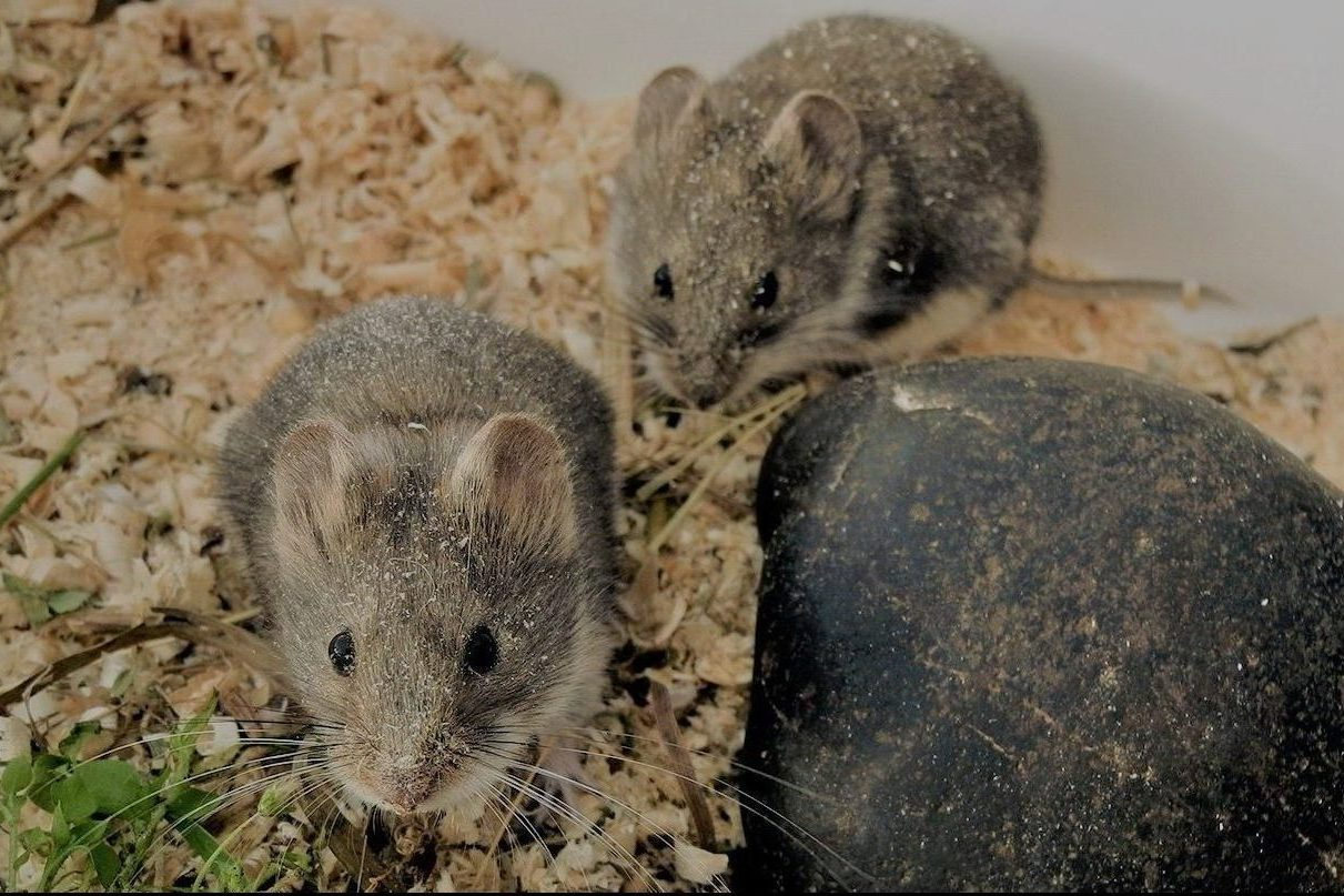 Conservation and recruitment of the Olkhon vole population