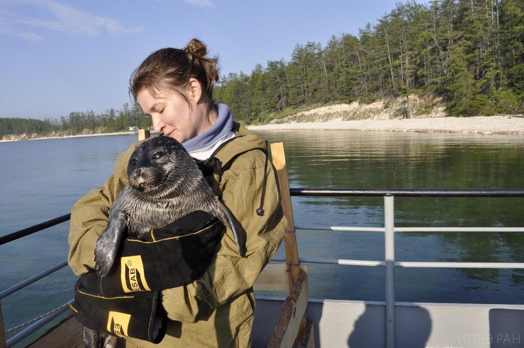 Scientists of A.N. Severtsov Institute for Ecology and Evolution of RAS about tagging the Baikal seal