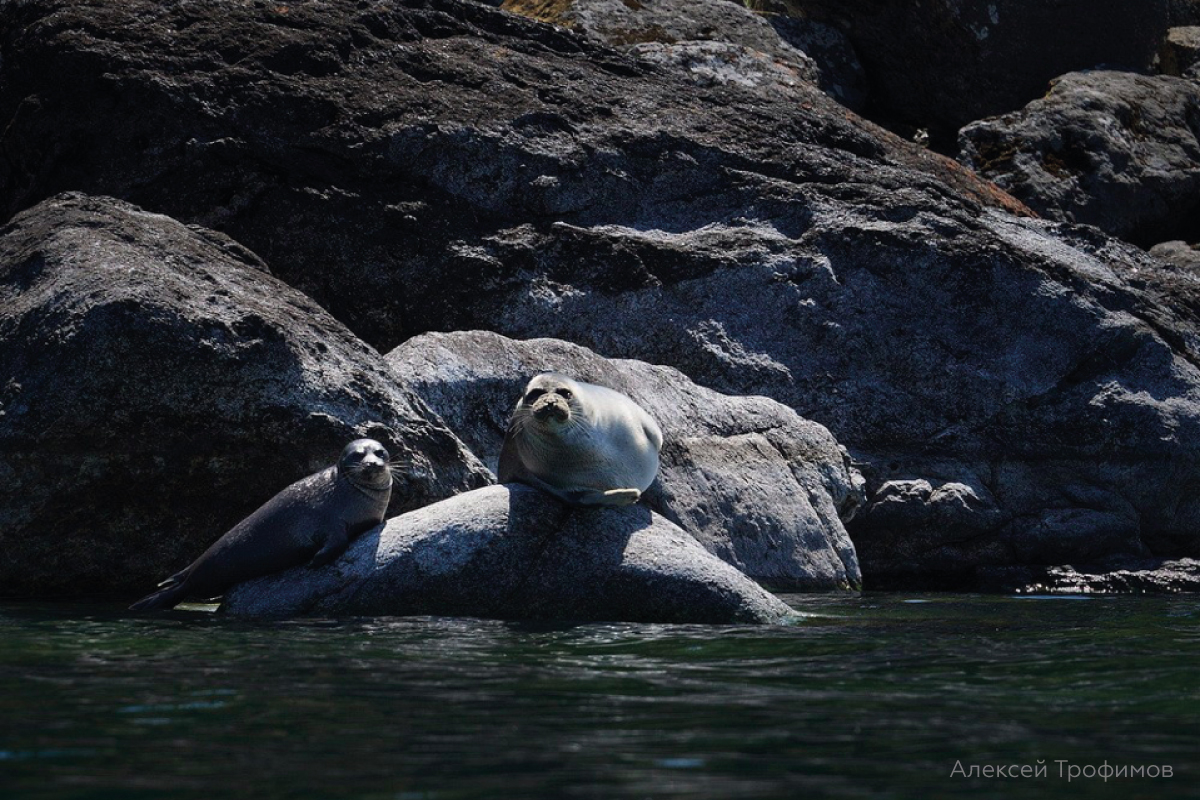 The results of Baikal seal research