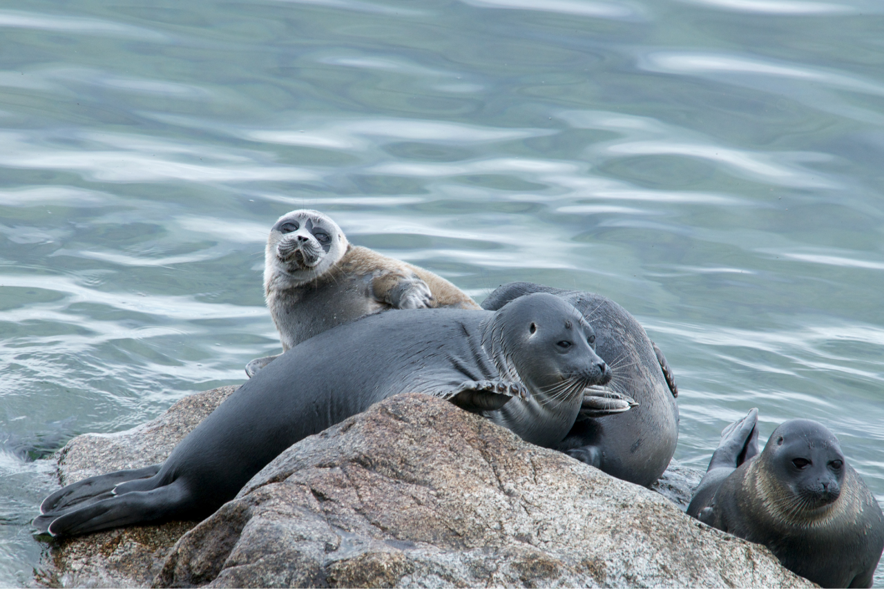 Interview with Inna Anikienko, manager of the project on research of the Baikal seal's cardiovascular system
