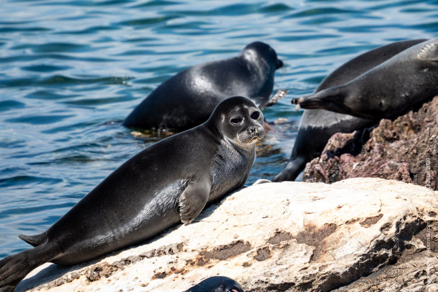 Fundraising campaign for studying the Baikal seal is launched