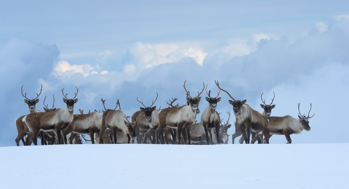 Rescue of the Khamar-Daban group of forest subspecies of wild reindeer in the central part of the Khamar-Daban range