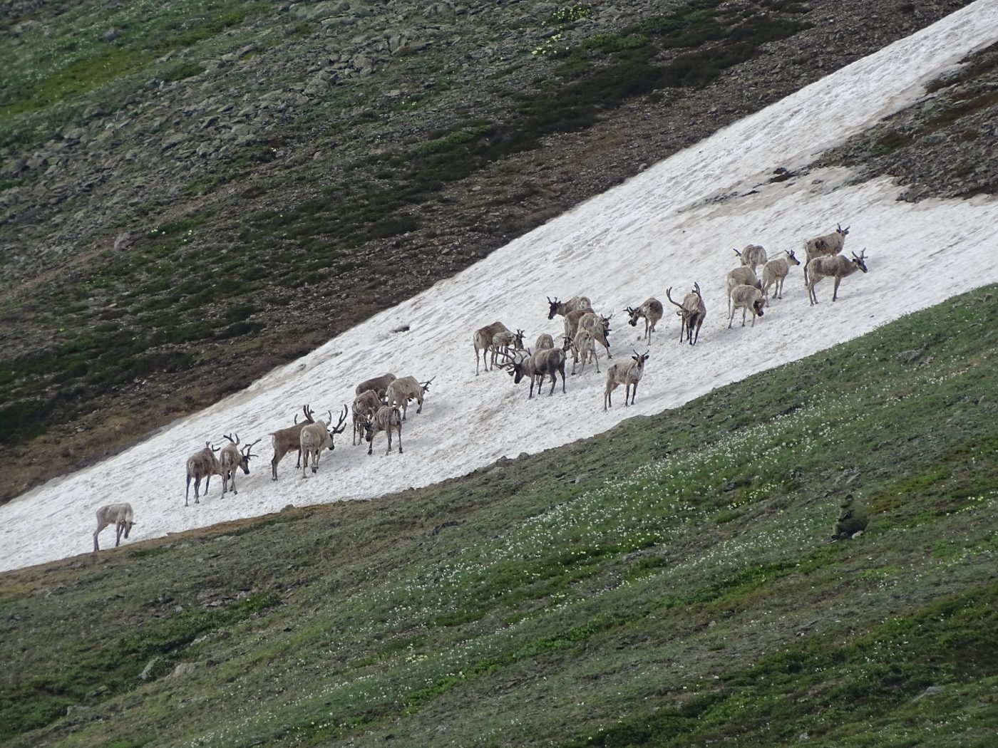 The expedition on recording number of wild reindeer took place